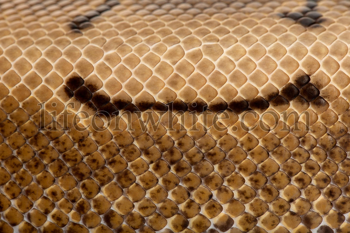 Close-up of Spinner Python, Royal python skin, ball python, Python regius, 2 years old