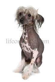 Chinese hairless crested dog, 2 years old, sitting