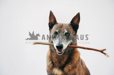 Older malinois in the studio holding a stick and smiling at camera