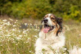 An English shepherd dog in a field of wildflowers