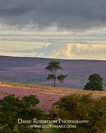 Prints & Stock Image - Trees on heather moor, Lammermuir Hills, East Lothian, Scotland