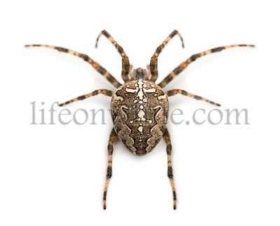 Rear view of an European garden spider, Araneus diadematus, against white background