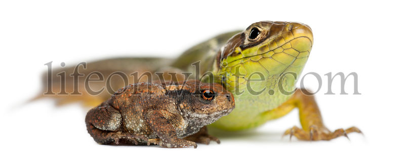 Western Green Lizard, Lacerta bilineata, and young Common toad, bufo bufo, in front of white background