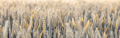 AF20190624_Wheat_220-PanoC01