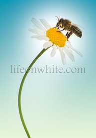 European honey bee gathering pollen on a daisy, Apis mellifera, on a blue background