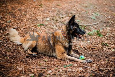 A belgian shepherd laying with a ball between her feet