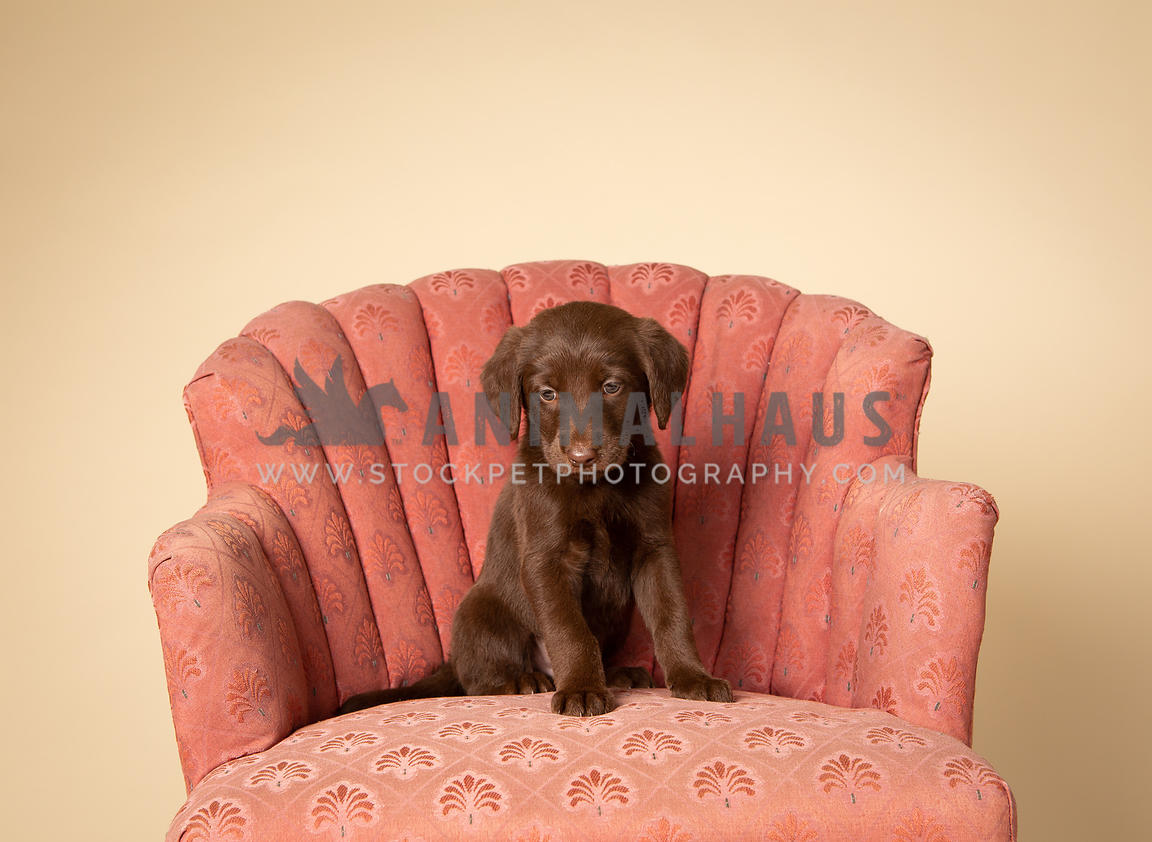 Small brown lab puppy sitting on vintage chair in studio