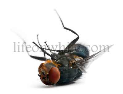 Housefly, Musca domestica, lying against white background
