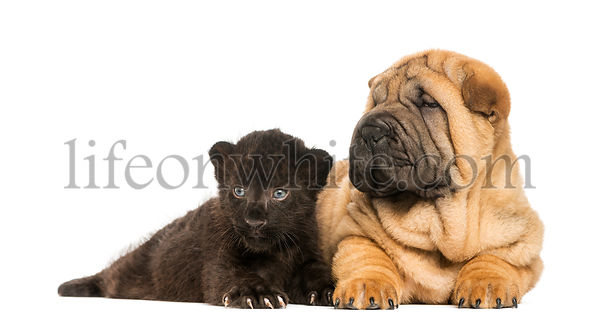 Shar pei puppy and Black Leopard cub lying down next to each other,  isolated on white