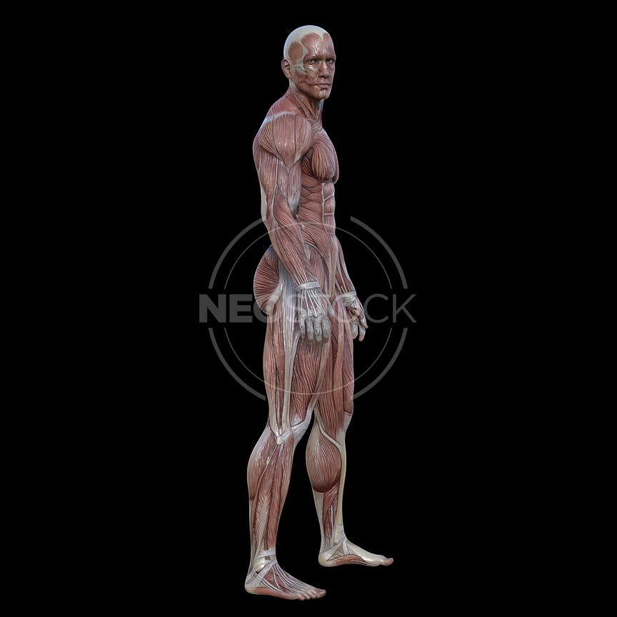 cg-body-pack-male-muscle-map-neostock-1