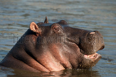 Hippo in Serengeti National Park
