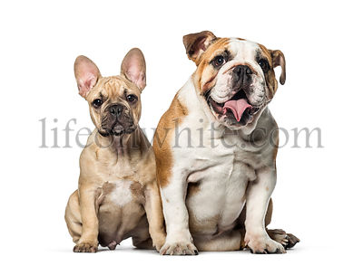 Two bulldogs, French and english, sitting on white background.
