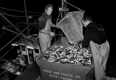 Crew of the 'Pride of Cornwall' landing a catch of sardines in Newlyn harbour, after a night's fishing, Cornwall, England.