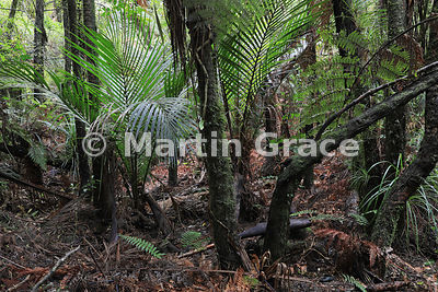 Luxuriant indigenous woodland, Waiau Falls, Coromandel Peninsula, North Island, New Zealand