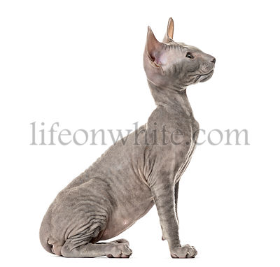 Side view of a young peterbald cat, sitting, isolated on white