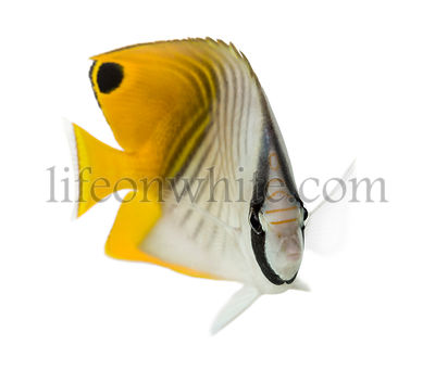 Threadfin Butterflyfish, Chaetodon auriga, isolated on white