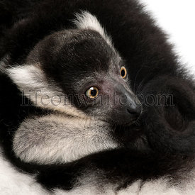 Close-up of Mother and baby Northern black-and-white ruffed lemur, Varecia variegata subcincta, 7 years old and 2 months old,...
