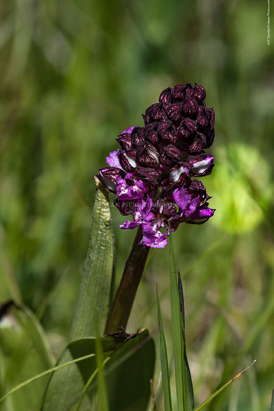 orchis_pourpre-56