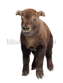 Mishmi Takin, Budorcas taxicolor taxicol, also called Cattle Chamois or Gnu Goat, 15 days old, portrait standing against whit...