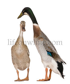 Male and female Indian Runner Ducks, 3 years old, standing in front of white background