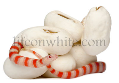 Hypomelanistic milk snake or milksnake, lampropeltis triangulum hondurensis, 18 minutes old, in front of white background
