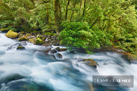 Temperate rainforest with brook - Oceania, New Zealand, South Island, Southland, Fiordland, Hollyford River, Lake Marion Trac...