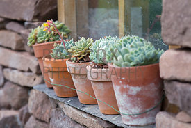Sempervivums in terracotta pots on potting shed window ledge
