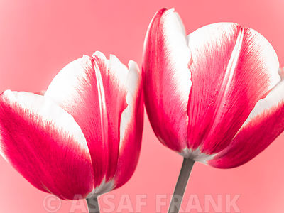 Close up of fresh tulips flowers