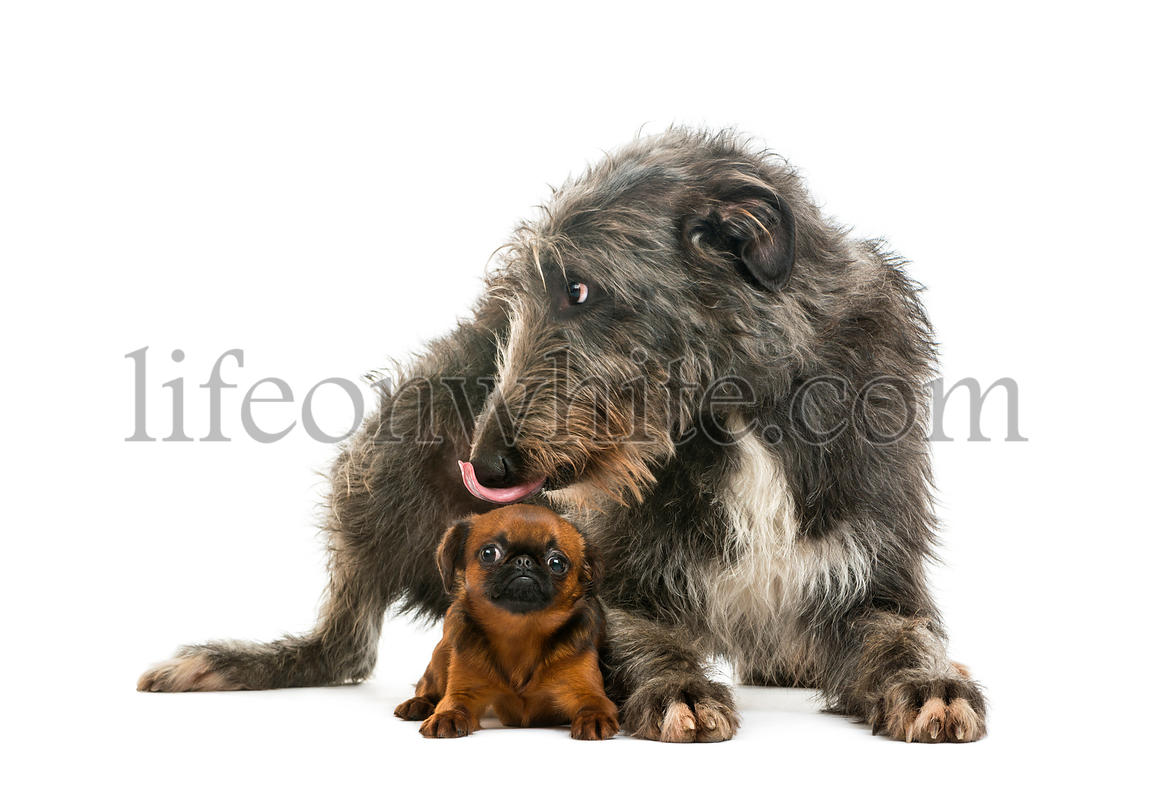 Scottish Deerhound lying and licking the head of a Petit Brabancon lying, isolated on white