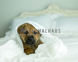 Tan puppy rest on white bed while wrapped up in white blanket