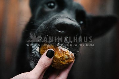 A large black dog eating a muffin her mom is feeding her