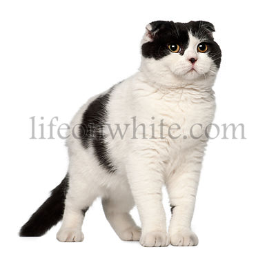 Scottish Fold, 6 months old, against white background