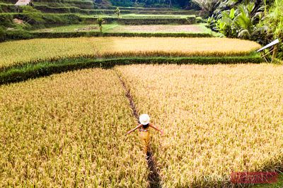 Woman walking in a rice field, Ubud, Bali, Indonesia