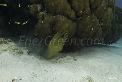 Grand-Cayman-diving-Moray-eel-372014-05-06