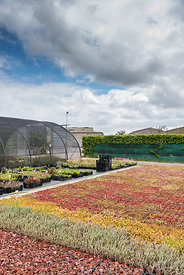 Various varieties of sedum in a greenhouse, France, spring