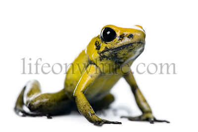 Golden Poison Frog, Phyllobates terribilis, studio shot