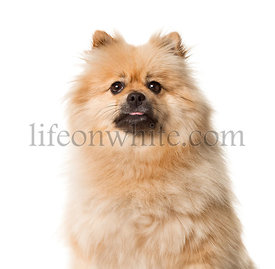 Close-up of a Keeshond sitting , isolated on white