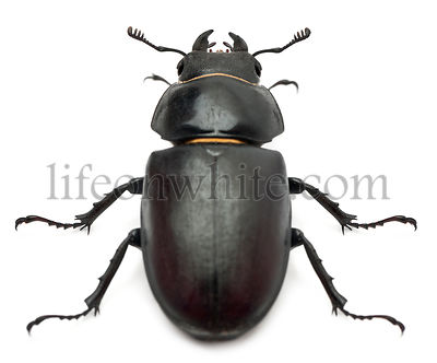 Female Lucanus cervus (stag beetle) in front of white background