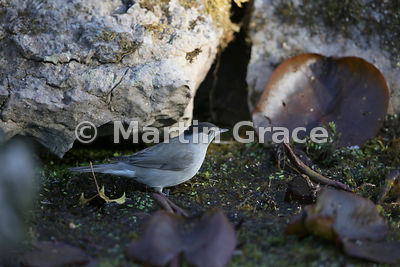Male Eurasian Blackcap (Sylvia atricapilla) stands on vegetation in the garden pond, Lake District National Park, Cumbria, En...