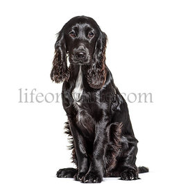 Black and white English Cocker Spaniel, isolated on white