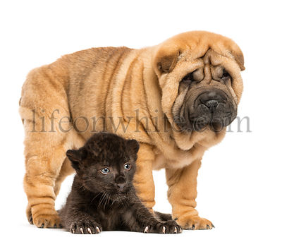 Black Leopard cub lying down under a Shar pei puppy standing, isolated on white
