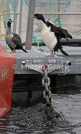 Pied morph of Stewart Island Shag (Foveaux Shag, Stewart Cormorant, Bronze Shag) (Leucocarbo chalconotus) (right) with Spotte...