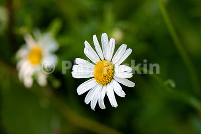 Macro shot of Leucanthemum vulgare, commonly known as the ox-eye daisy, oxeye daisy, dog daisy and other common names.
