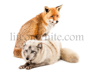 Red Fox, Vulpes vulpes, sitting and Arctic Fox, Vulpes lagopus, lying, isolated on white