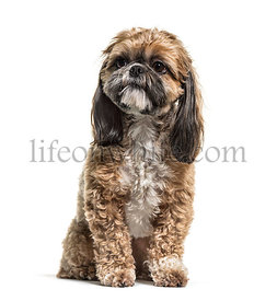 Sitting Shih Tzu dog, isolated on white