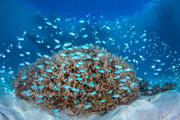 School of damselfish and their coral potato