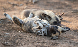 Wild Dog, Erindi Game Reserve