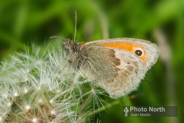 BUTTERFLY 09A - Small heath