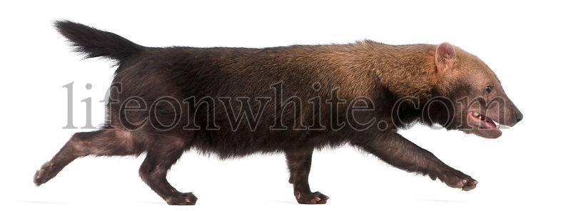 Bush Dog, Speothos venaticus, walking in front of white background