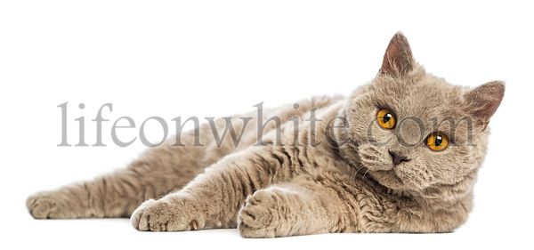 Selkirk Rex lying and looking at camera against white background